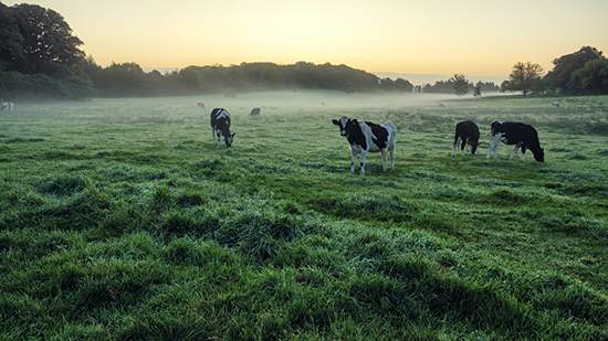 Cows standing in a misty field